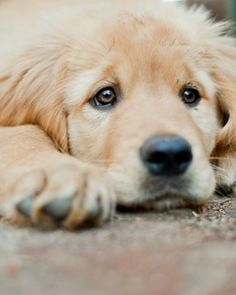 #Golden #Retriever #Puppy #Dogs