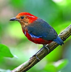 Blue-banded Pitta
