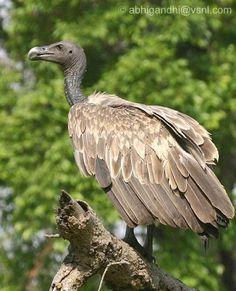 Slender-billed Vulture (Gyps tenuirostris) Subadult
