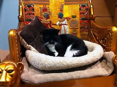 Mittens enjoys the royal Egyptian #cat throne at OHS. She comes with a great care pkg from Banfield, too! Adopt this incredibly sweet cat in Dec. so she can have a forever home for the holidays!