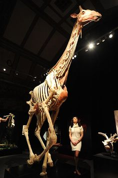 Giraffe, plastinated