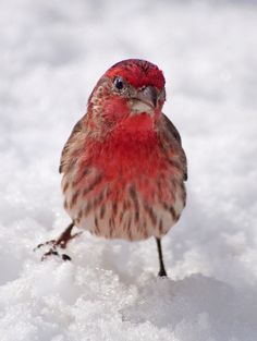 This is the first year we've seen red Finches in our backyard. What a beautiful bird.