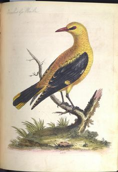 Golden Thrush. Icterus. by Library & Archives @ Royal Ontario Museum, via Flickr
