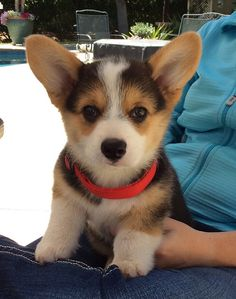 Sharky someday will likely be at the top of the food chain-he IS a corgi!