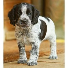 Need a sweet companion? Get an English Springer Spaniel.