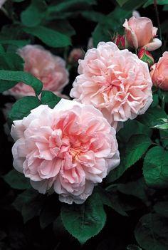 Eglantyne - David Austin English Rose