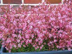 Saxifraga-umbrosa-Elliotts-Variety-Zwergsteinbrech-rosa-3x