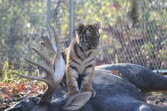 Tiger Cub sitting on his prize