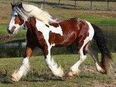 American Drum Horse