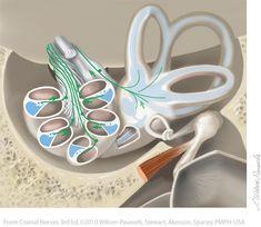 Vestibulocochlear VIII - Cranial Nerves Cranial Nerve 8, Cranial Nerves Anatomy, Nerve Anatomy, Ear Anatomy, Vestibular Neuritis, Vestibular System, Central Nervous System, Neurology, Vertigo