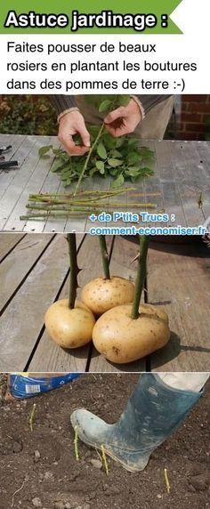 Utilisez une pomme de terre pour bouturer un rosier facilement