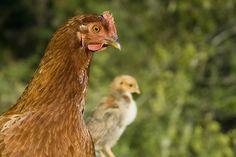 Co było pierwsze jajko czy kura?