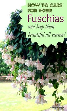 How To Care For Your Fuschias And Keep Them Beautiful All Season - www.turnstylevogue