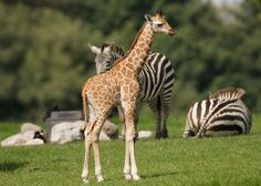 At Fota Wildlife Park You can come face to face with the animals as they roam freely around the park and see them feeding and foraging for food