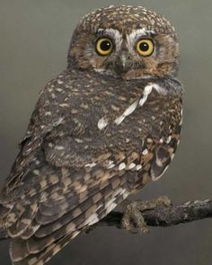 Elf Owl adult -