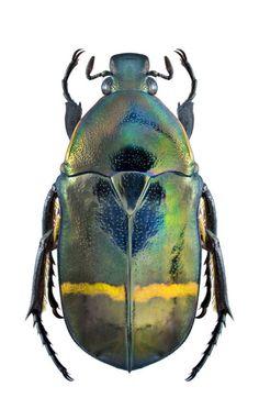 Plaesiorrhinella watkinsiana