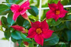 Brazil Jázmin - mandevilla sanderi Garden Pots, Indoor Plants, Brazil, Beautiful Flowers, Backyard, Gardening, Gardens, Plant, Balconies
