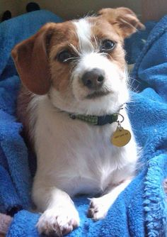 our little rescue dog a wirehaired dachshund mix just