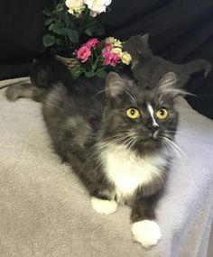 Meet Reba, an adoptable Tabby looking for a forever home. If you're looking for a new pet to adopt or want information on how to get involved with adoptable pets, Petfinder.com is a great resource.