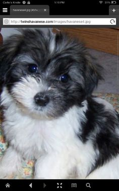 I want a havenese puppy. im alergic to dogs
