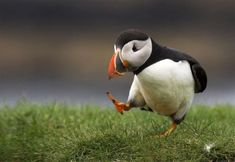 Puffin in Iceland. Over half of the world population of the Atlantic Puffin breeds in Iceland, the total population of puffins in Iceland is between 8 and 10 million birds. Puffins are both beautiful and fun to look at. They exhibit amusing antics and maneuvers both in air and on land.