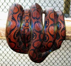 a Brazilian rainbow boa Pretty Snakes, Beautiful Snakes, Cute Reptiles, Reptiles And Amphibians, Brazilian Rainbow Boa, Python, Baltimore, Colorful Snakes, Boa Constrictor