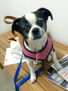 Boston terrier rescue groups california