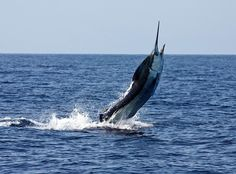 April Fishing in Kona Hawaii Produces Good Numbers of Spearfish and Striped Marlin - Humdinger Sport Fishing Charter Boat Fishing, Marlin Fishing, Destin Fishing, Blue Marlin, Kona Hawaii, Offshore Fishing, Hawaii Homes, Fishing Pictures, Sport Fishing