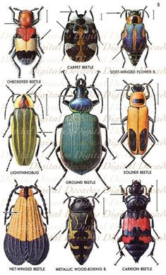 Vintage Beetles Art Illustrations - Bug Insects Oddities - Digital Image