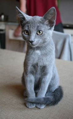Russian Blue Cats Kittens Dorian looked something like this when we got her at a yard sale. Figured she was a Russian Blue. Cute Cats And Kittens, Cool Cats, Kittens Cutest, Big Cats, Grey Kitten, Grey Cats, Grey Cat Breeds, Russian Blue Kitten, Hypoallergenic Cats