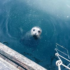 Image discovered by VERA. Find images and videos about cute, photography and sea on We Heart It - the app to get lost in what you love. Nature Animals, Baby Animals, Funny Animals, Cute Animals, Animal Babies, Cute Seals, Baby Seal, Animal Antics, Marine Life