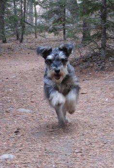 """Click visit site and Check out Best """"Miniature Schnauzer"""" T-shirts. This website is superb. Tip: You can search """"your name"""" or """"your favorite shirts"""" at search bar on the top."""