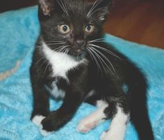 This is little 3 month old Yuri.  He loves to be held and cuddled.  He would love a home with another cat to play with.  Adopt him at www.orphankittenrescue.com