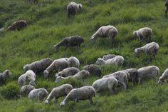 Con il pastore, tra silenzi e racconti di una sapienza antica e attuale allo stesso tempo. A tratti si sente solo il continuo brusio dell'erba strappata, interrotto ritmicamente da sbuffi e brevi belati.