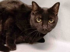 NATE - A1124832 - - Manhattan  ***TO BE DESTROYED 09/12/17***  HANDSOME PANTHER KITTY NATE NEEDS A SPECIAL CAT PURRSON TO GIVE HIM A FREEDOM RIDE TONIGHT!  Do you have some cat whispering skills?  Poor NATE was abandoned at the shelter and needs a new home.  He has not been a happy camper there and his somewhat less than friendly behavior has gotten him whisked on to tonight's list.  NATE may have been abandoned by his owner and this poor guy is just very upset.  WHY
