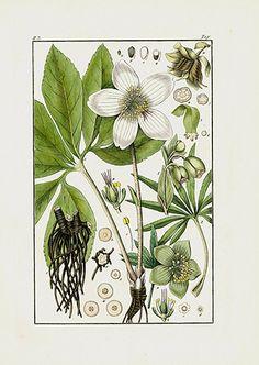 Hellebore Print USD $45 Pharmaceutical Waarenkunde by Eduard Winkler 1852