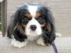 cavalier king charles spaniel puppies - Google Search