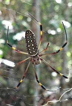 Araña de Seda Dorada Nephila clavipes