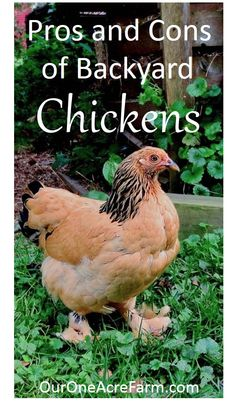 Are chickens for you? What are the benefits of eggs from the backyard vs. the grocery store? Here's a deep and honest look at the pros and cons: the time and effort required, animal welfare implications, and personal and public health issues.