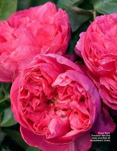 Pink Traviata Rose Leaf Summer 2012 Issue