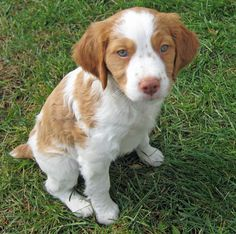 Brittany Spaniel puppy.. this is the pup i want! yes. don't tell zach, just let it be a surprise.. trust me - he'll ... love it.