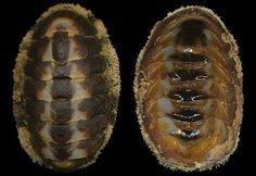 Acanthopleura granulata (Gmelin, 1791), S. Florida to E. Panama, West Indies, E. Costa Rica 36mm