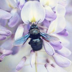 Bee on wisteria.