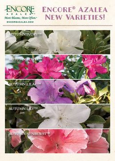 View the newest releases of Encore Azalea varieties; Encore® Azaleas are the world's best-selling reblooming azalea with rich, colorful blooms in spring, summer and fall. Azalea Color, Landscape Design, Garden Design, White Azalea, Evergreen Garden, Emerald Lake, Garden Styles, House Colors, Flower Power
