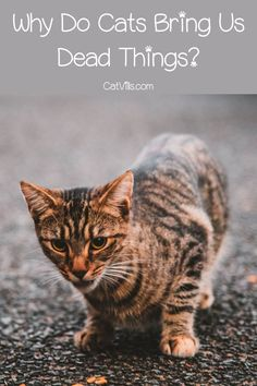 Why does your cat bring you dead critters? It's actually kind of a sweet reason! Check it out! Kittens Cutest, Cats And Kittens, Cat Hacks, Pet Clinic, Kitten Care, Cat Care Tips, Kittens Playing, Healthy Pets, Cat Behavior