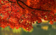 Red Leaves Fall Wallpaper
