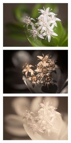 Crassula (Crassula ovata) : arrosage, entretien Plante Crassula, Crassula Ovata, Gardens, White Flowers, Interview