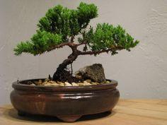 BONZAI! Why You Need A Bonzai Tree