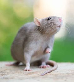 A guide to pet rat lifespan. The rundown on pet rat life expectancy, and how to help your fancy, dumbo, or white rat stay healthy for as long as possible. Funny Rats, Cute Rats, Baby Animals, Cute Animals, Baby Hamster, Secret Life Of Pets, Types Of Animals, Cute Mouse, Rodents