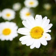 çiçeklerden papatyayı..